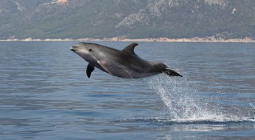 Ionian Dolphin Sightings
